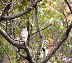A juvenile Shikra spotted in #Bangalore #birds #indianbirds