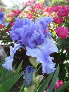 Bearded iris with pink knock out roses