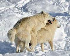 Kuvahaun tulos haulle suden pesä Wolves, Polar Bear, Animals, Animales, Animaux, Wolf, Animal, Animais, Timber Wolf