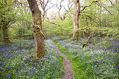 Bluebell Wood, Ellisfield, Hampshire