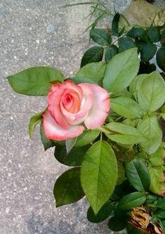 Rosa labios de mujer 28-05-15