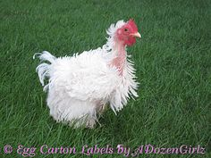 The Chicken Chick®: Molting. What is it and how you can help.