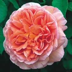 Abraham Darby - #David Austin Roses  Got this gorgeous rose to the right of the front door.  Ian has managed to take some cuttings and we've had success with one cutting throwing up a flower this year!