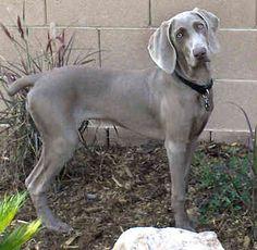 Weimaraner female dog :)