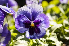 Shades of purple ruffled panola backlit with the fall sun Spring Colors, Shades Of Purple, Pansies, Sun, Fall, Garden, Plants, Autumn, Garten