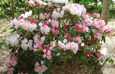 rhododendron yakushimanum cultivars - 'Plant of the Decade' at Chelsea Flower Show 2013.