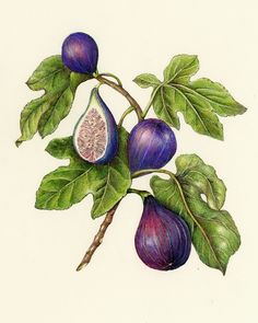 Fig. A collection of botanical illustrations of fruits and vegetables by Wendy Hollender.