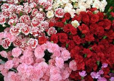 """Carnation or """"dianthus"""" = """"The Flowers of God"""". The ancient Greeks and Romans cultivated these flowers specifically for decorative purposes like for use in garlands, wreaths and other decor projects. In ancient Rome this flower were known as """"Jove's Flower"""" as a tribute to one of their beloved gods. According to Christian legend, these flowers appeared on earth from Mary's tear at Jesus's carrying of the cross."""