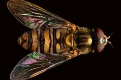 This pin-sharp portrait of a hoverfly was composed from over 3,500 photographs. It is part of a series on insects by London-based photographer Levon Biss.