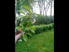Rez višne - YouTube