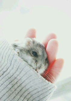 Awwwww I need hamsters now! I had hamsters but they're died Hamster Pics, Hamster Care, Cute Funny Animals, Cute Baby Animals, Animals And Pets, Funny Hamsters, Robo Dwarf Hamsters, Cute Animal Pictures, Cute Creatures