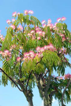 Landscape Gardeners Are Like Outside Decorators! Trees And Shrubs, Flowering Trees, Trees To Plant, Jungle Gardens, City Gardens, Silk Tree, Bottle Garden, Mediterranean Garden, Gardens