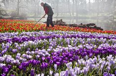 Travel in April to Amsterdam Netherlands, where the fields of tulips are in full bloom.