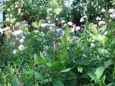 Clematis integrifolia, Cecile Brunner roses and campanula Clematis, Garden Design, Roses, Explore, Plants, Pink, Rose, Landscape Designs, Plant