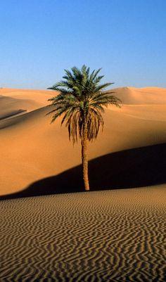 Uma palmeira solitária no Saara