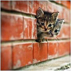 Kittens peering out of brick wall