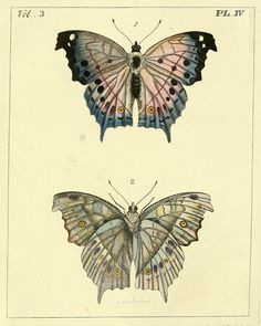 Plate IV. Parnassius butterfly aka apollo.  Illustrations of exotic entomology. 1837.
