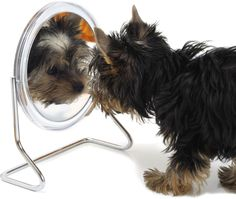 Mirror mirror on the wall, who's the cutest Yorkie of them all? ....oh really? IT'S MEEEE?