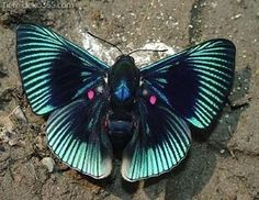"""Green Rays Red Spotted Butterfly (lyropteryx apollonia) ~ Mik's Pics """"Butterflies and Moths ll"""" board Papillon Butterfly, Butterfly Wings, Butterfly Colors, Green Butterfly, Beautiful Bugs, Beautiful Butterflies, Beautiful Creatures, Animals Beautiful, Animals And Pets"""