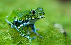 Usumbara Peacock Tree Frog (Leptopelis vermiculatus) | by pbertner