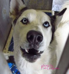 GONE --- A4771148 My name is Rocky. I am a friendly 1 yr old male white/black Alaskan Malamute mix. I came to the shelter as a stray on Oct 29. available 11/2/14  Baldwin Park shelter Open for Adoptions 7 days a Week 4275 Elton Street, Baldwin Park, California 91706 Phone 626 430 2378  https://www.facebook.com/photo.php?fbid=866747843337054&set=a.705235432821630&type=3&theater
