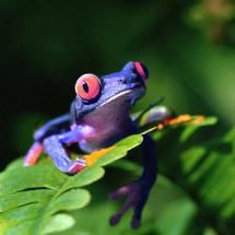 Most people always think of frogs as green, but they come in wonderful, amazing colors.