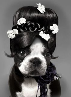 so cute and funny boston terrier