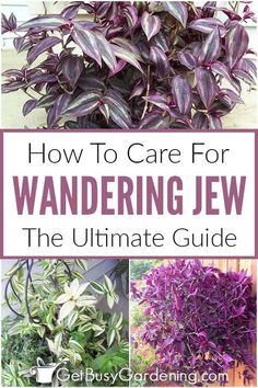 Wandering Jew Plant Care Guide - Get Busy Gardening Purple Heart Plant, Purple Plants, Leafy Plants, Colorful Plants, Pot Plants, Tall Indoor Plants, Hanging Plants, Indoor Outdoor, Hanging Baskets