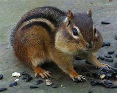 Chipmunk spirit animal is a symbol that something good is on it's ways to you, something wonderful....