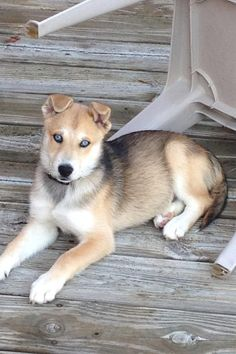 My boyfriend's dream dog - husky/shepherd mix. What a challenging dog breed though! Mixing two very headstrong dogs...