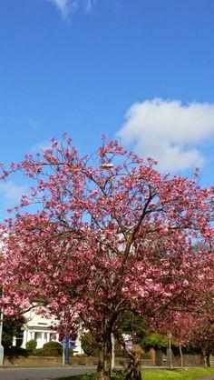 Spring blossom near home