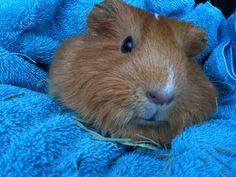 Types of guinea Pig Breeds – Guinea pigs also called cavies make a few of the pets and you can not help but love them.