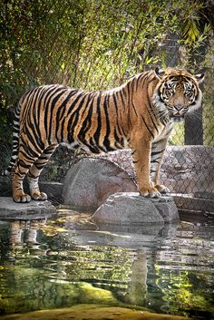 Sumatran Tiger by PACsWorld