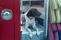 Photos of our Firehouse dogs, who double as our Firehouse Mascots. Firefighter Pictures, Fort Myers, Fire Department, Peace, War, Dogs, Animals, Mans Best Friend, Firefighters