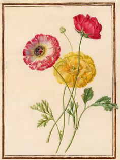 Circle of Madeleine Françoise Basseporte | 1701-1780 | Poppies (Papaver) | The Morgan Library & Museum