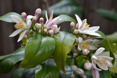 Flowering Lemon Tree