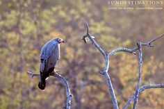 African harrier hawk : This medium size bird of prey is omnivorous and has an incredible ability to climb. It has double jointed legs and is one of the most agile raptors. It has a small, pointed head and pale yellow spot on its face. #Hawk #Africanharrierhawk #birdsafari #birds #birding #Balule #Ezulwini