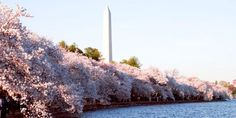9 Things You Never Knew About the National Cherry Blossom Festival  - HouseBeautiful.com
