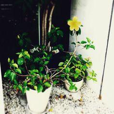 #ボタニカル#アプリ#greensnap  #薔薇 #観葉植物 #ガーデニング #グリーンインテリア #園芸 #花 #花部 #フラワー#花のある生活#花のある暮らし #gardening#containergarden #flower #flowers #flowerstagram #florist #floral #blossom #bloom#greenthumb #greenlife #plants#containergarden#botanical#igersjp