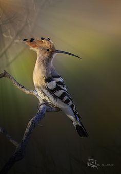 Hoopoe Bird by ALI M. ALAMRAD