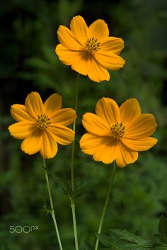 , Flowers-Cosmos yellow - Flowers-Three cosmos flowers-Cosmos bipinnatus, commonly called the garden cosmos or Mexican aster is a medium-sized flowering. Cosmos Flowers, Exotic Flowers, Amazing Flowers, Beautiful Roses, Yellow Flowers, Wild Flowers, Beautiful Flowers, Imagen Natural, Ornamental Plants