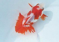 1000+ images about Carassius on Pinterest | Ryukin ...