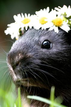I need to make a daisy chain for my pigs! Ten bucks says they'll try to eat it before I get the photo