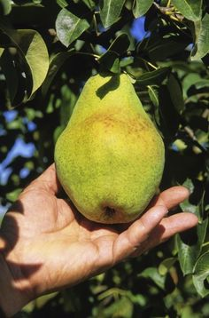 When Are Pears Ripe To Eat: Learn About Pear Tree Harvest Time - When are pears ripe to eat? Pears are one of the few fruits that are best when picked under ripe. Pear tree harvest time will vary according to variety. Learn when and how to pick pears in this article. Click here for more information.