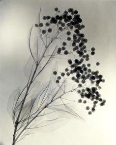 Photographies aux Rayons des Années 1930 de Détails délicats de Fleurs (10)