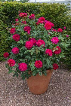 5 Creative Ways To Grow Small Flower Gardens Rosas David Austin, David Austin Rosen, Small Flower Gardens, Small Flowers, Container Plants, Container Gardening, Comment Planter Des Roses, Rosen Beet, Magic Garden