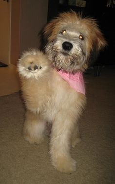Adorable! Soft Coated Wheaten Terrier