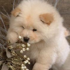 Lovely Chow Chow Puppies As Pet
