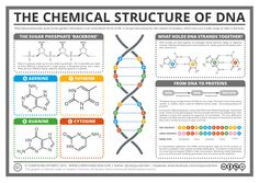 Today's post crosses over into the realm of biochemistry, with a look at the chemical structure of DNA, and its role in creating proteins in our cells. Of course, it's not just in humans that DNA is found - it's present in the cells Molecular Biology, Science Biology, Teaching Biology, Medical Science, Life Science, Forensic Science, Computer Science, Dna Molecule, Teaching