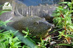 """Nach der Winterruhe ist Nilweichschildkröte """"Ramses"""" sofort wieder aktiv, um in seinem Teich nach Nahrung zu suchen."""